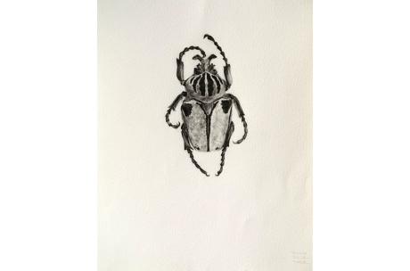 """escarabajo """"Goliat hembra"""""""