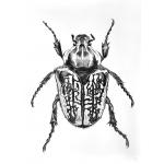 """escarabajo """"Goliat """""""