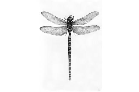 """libélula """"Asechna Cyanea"""""""