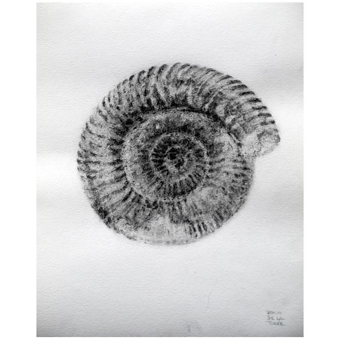 fósil ammonite